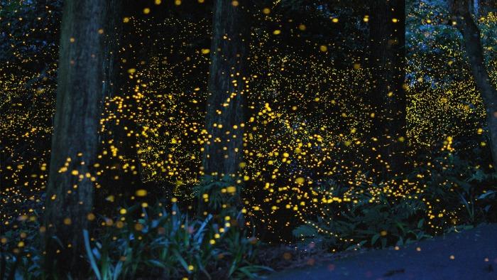 FireflyHirimatsu1-m