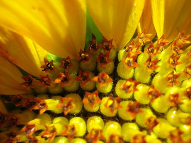 sunflower8274