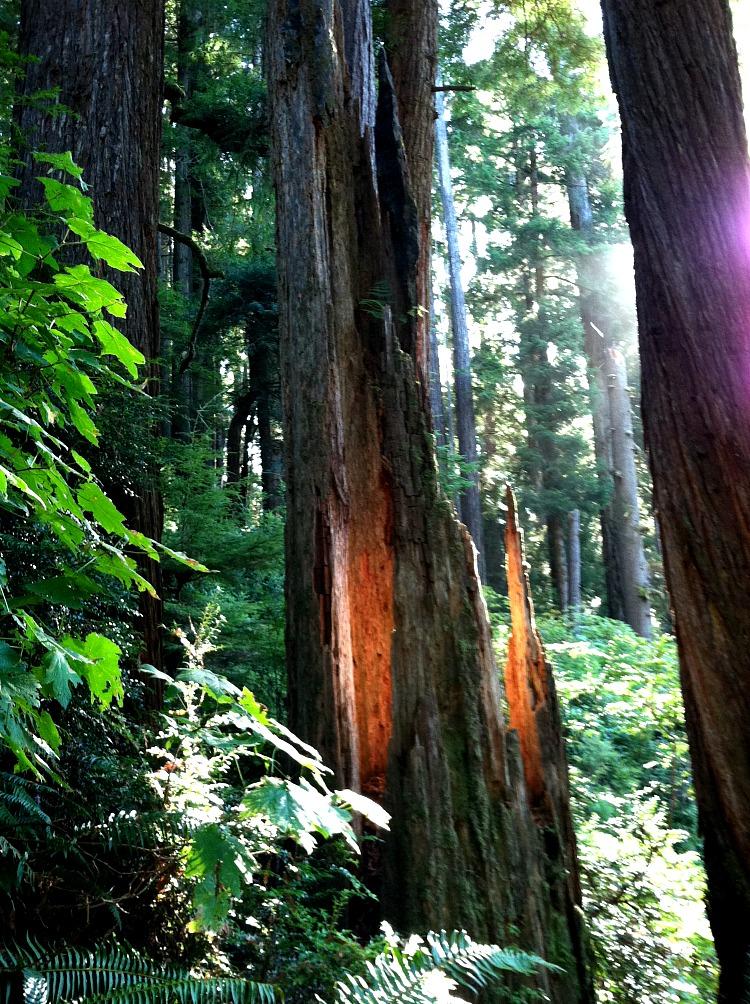 redwoodGod3478